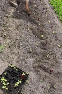 En ny omgång plocksallad som vuxit till sig i varmbänken planteras ut. foto: marie hedman