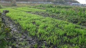 Här har vi sått höstråg som fånggröda för att minska urlakningen från jorden under hösten.
